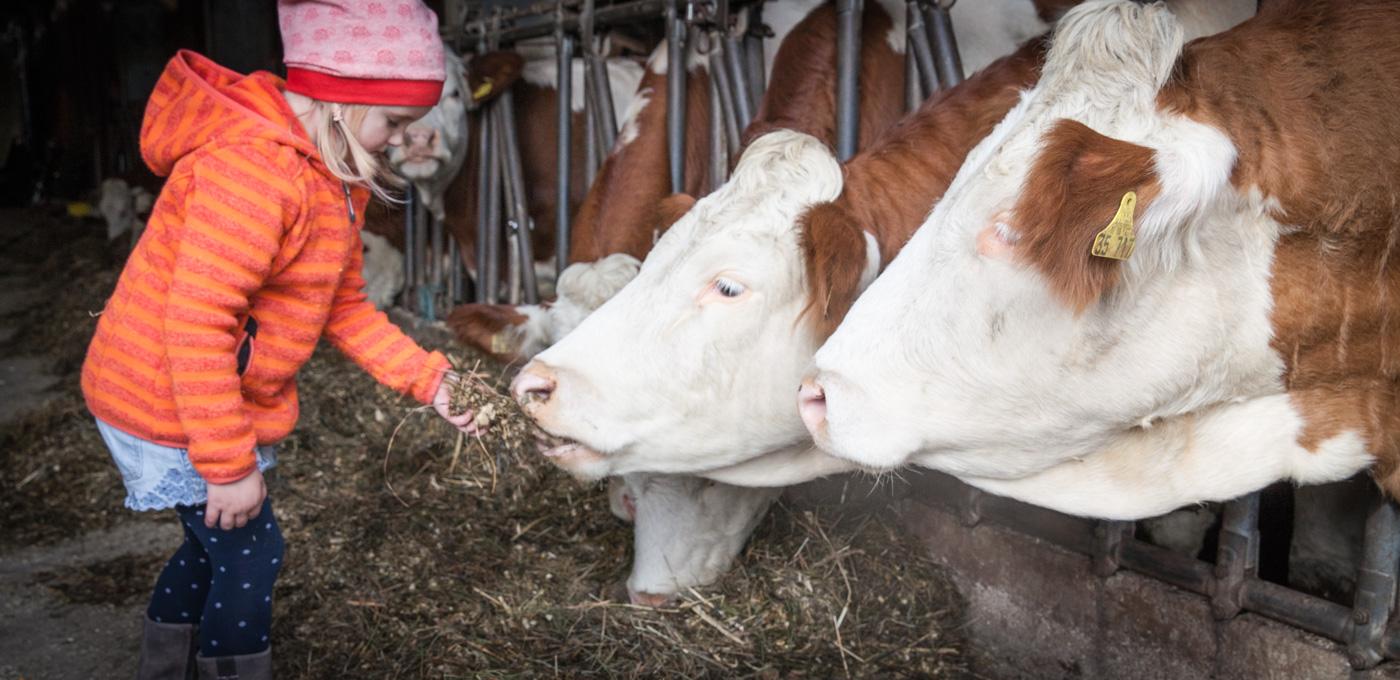 Ein Mädchen füttert eine Kuh im Stall